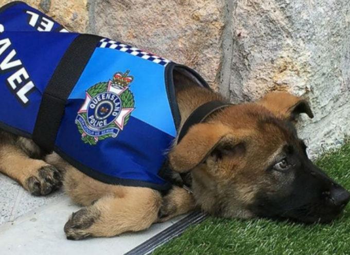 """Il cane poliziotto licenziato per essere """"troppo amichevole"""" ottiene un nuovo lavoro"""