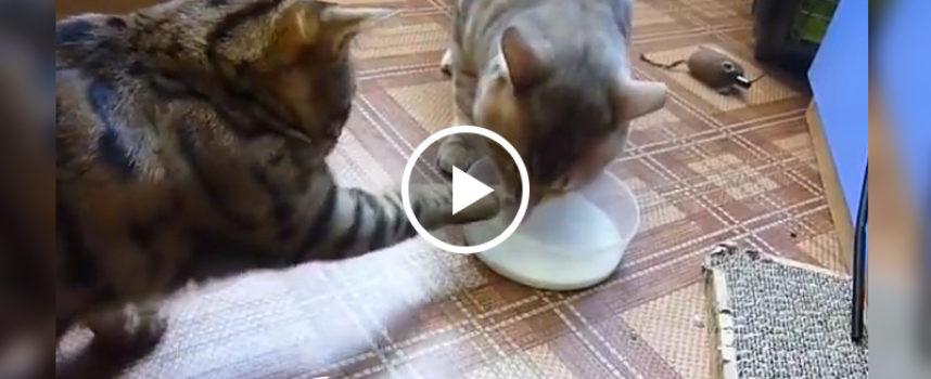 Due gatti si dividono il latte in maniera educata