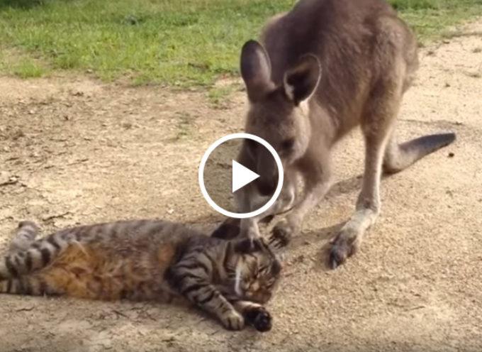 Il canguro cerca di fare amicizia con un simpatico gatto