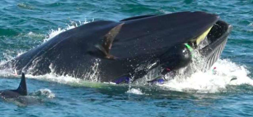 Subacqueo accidentalmente catturato dalla balena gigante