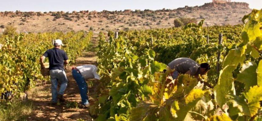 Vendemmia e raccolta delle olive. Aziende agricole: ecco le norme da rispettare per essere in regola
