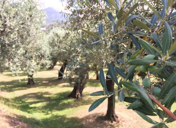 Prodotti tipici del territorio: in occasione della Giornata Mondiale dell'Olivo si celebra a Palazzo Mediceo l'eccellenza dell'Olivo Quercetano