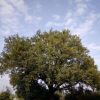 La Quercia, l'albero degli Dei .