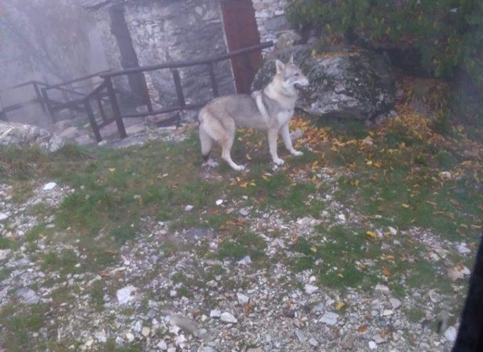 il lupo di campocatino