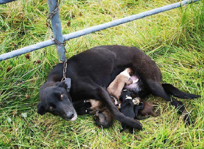 La triste storia di Emmy Lou, legata a una catena e abbandonata insieme ai suoi 6 cuccioli appena nati