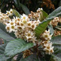 Le piante che vengono da lontano: il Nespolo del Giappone (Eriobotrya japonica),