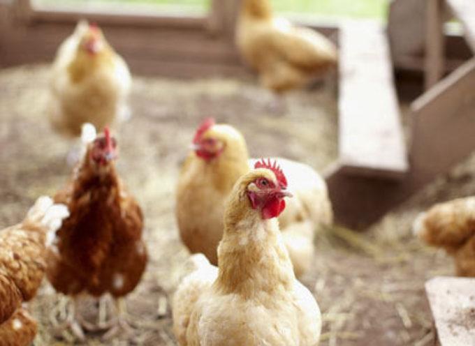 I piatti tipici: le rigaglie di pollo.