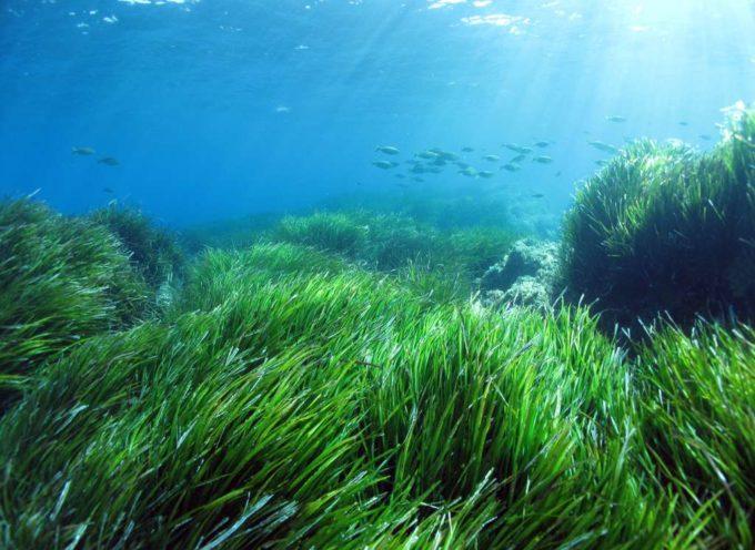 Le praterie di posidonia a rischio nei mari della Toscana