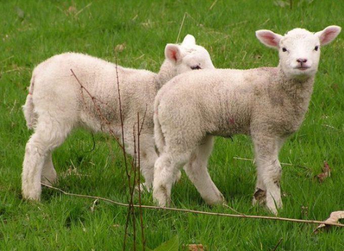 Il triste destino degli agnelli a Natale: più di mezzo milione al macello