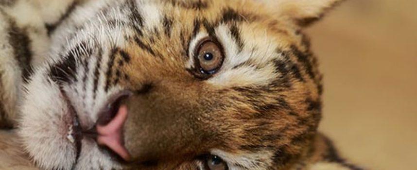 Dopo essere stato rifiutato dalla madre, questo cucciolo di tigre ha trovato l'affetto e l'amicizia di un cagnolino