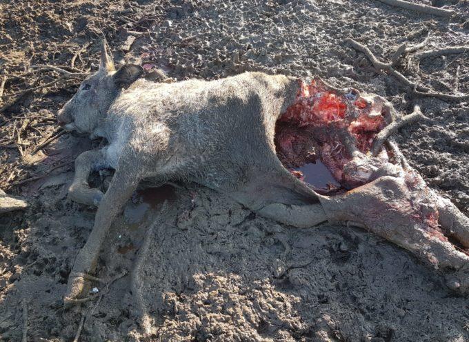 Branco di lupi fa strage divitelle maremmane, aziende in crisi