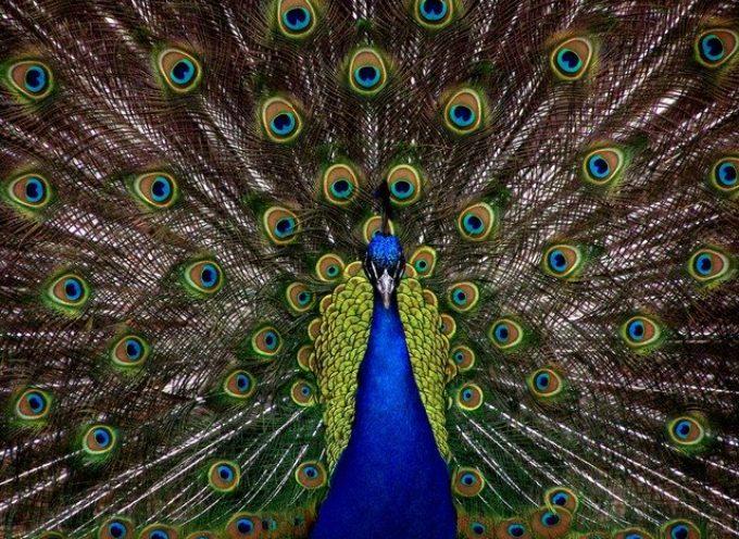 Furto nella notte all'Arsenale di Barga: rubati pavoni e capre