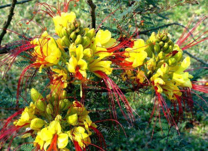 Tra i fiori più spettacolari vi è la Caesalpinia gilliesii, o Ponciana gilliesii,