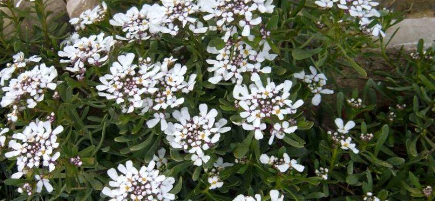 I fiori del freddo: l'Iberis Sempervirens.
