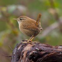 E' lo scricciolo, che, con i suoi 10 grammi di peso è tra gli uccelli europei più piccoli.