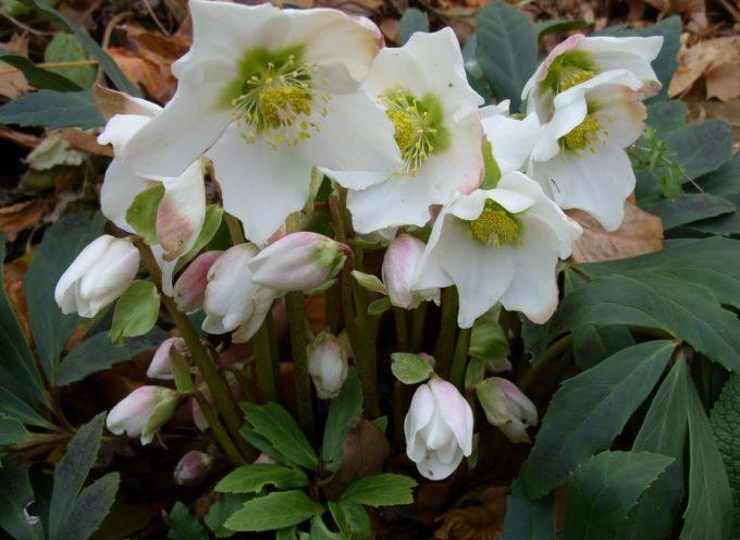 I fiori del freddo: l'Elleboro.