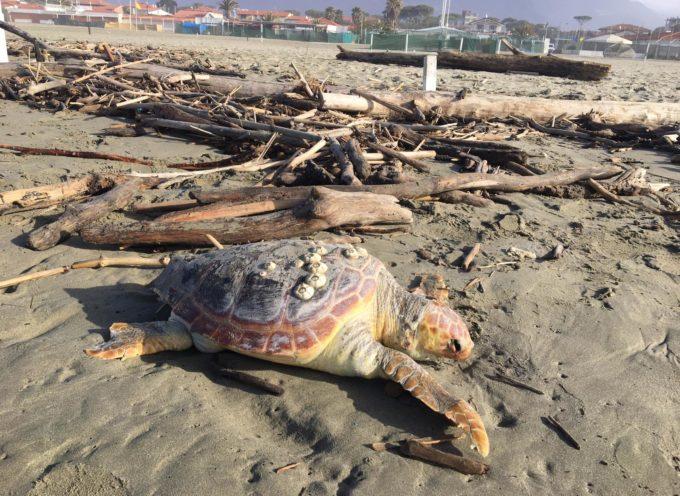 Tartaruga Caretta  trovata morta sulla spiaggia di Tonfano