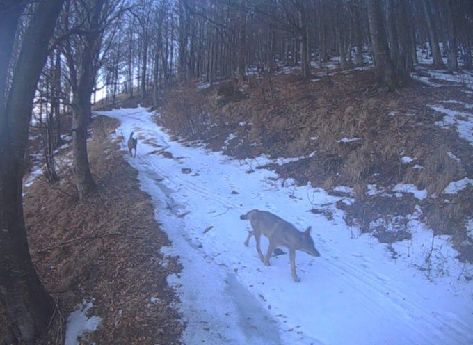 Il lupo è tornato sulle Alpi Apuane: curiosità e verità
