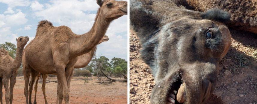 """""""Bevono troppo"""": 10mila cammelli saranno abbattuti per preservare l'acqua in Australia"""