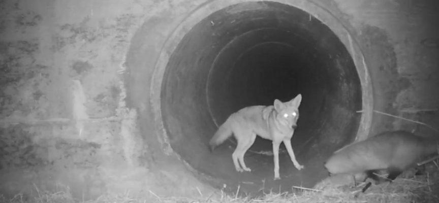 Un coyote aspetta il suo amico tasso prima di attraversare un tunnel: l'interazione viene ripresa dalle telecamere