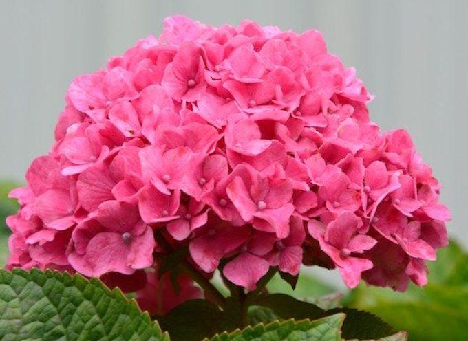 Se volete delle belle fioriture è il momento di potare le ortensie