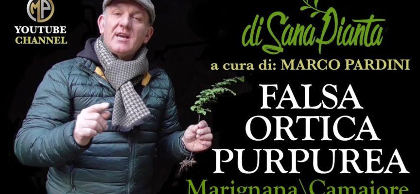 MARCO PARDINI CI PARLA DELLA FALSA ORTICA PURPUREA