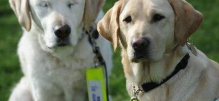 Un cane guida per cani: questo Golden Retriever cieco ora si fa guidare dal suo migliore amico a quattro zampe