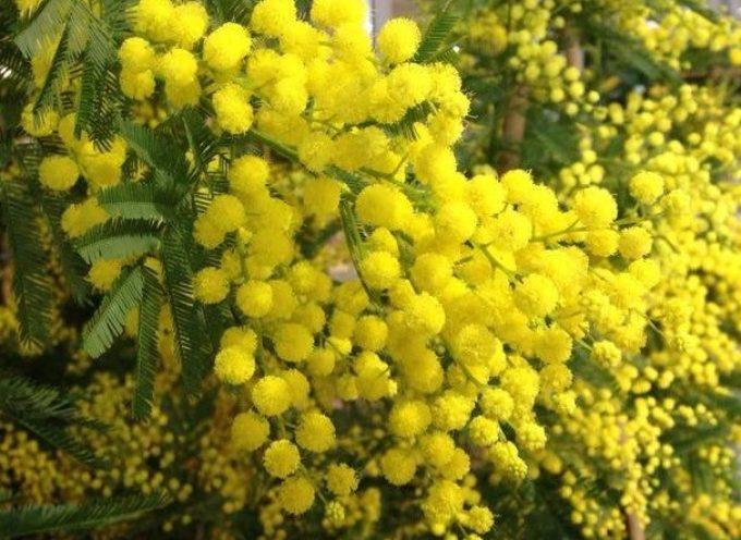 La mimosa, il fiore che per tradizione, si regala per la Festa della Donna.