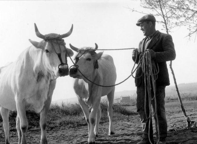 I buoi, i grandi animali pazienti che lavoravano fianco a fianco con l'uomo,