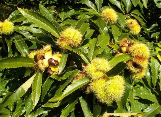 Marciume bruno delle castagne, la malattia emergente dei castagni da frutto