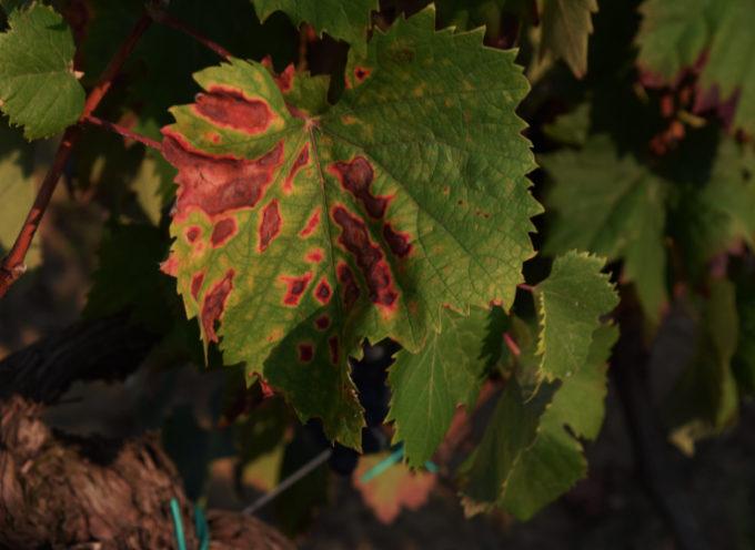 Mal dell'esca, ecco dieci consigli per difendere le viti