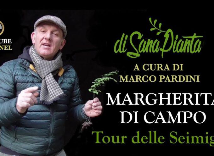 MARCO PARDINI CI PARLA DELLA MARGHERITA DI CAMPO
