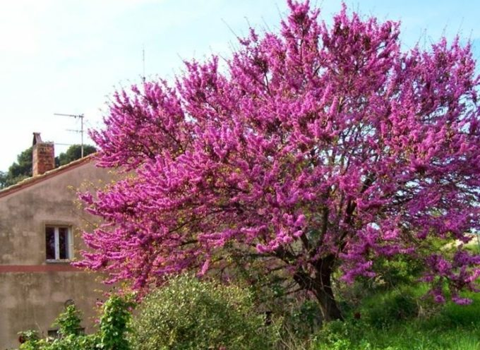 Fioriture di stagione: l'albero di Giuda.
