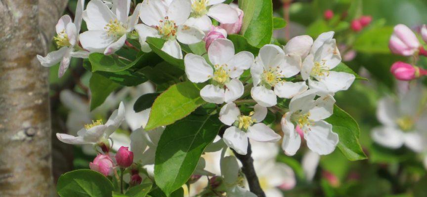 Aprile è il mese della fioritura dei meli.