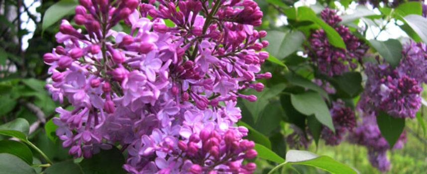 """ Un dolce odore di lillà riempì l'aria."