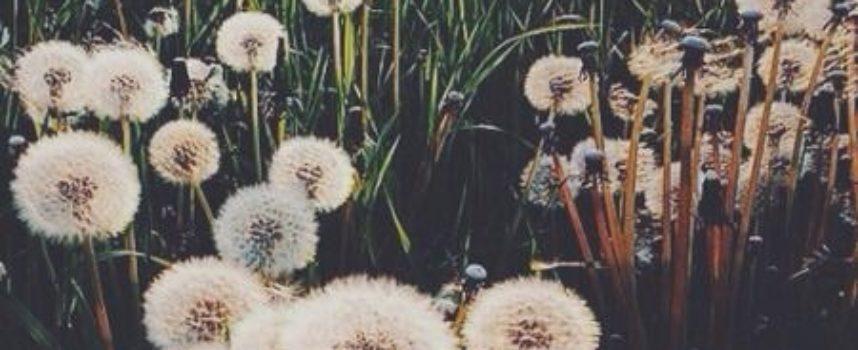 Tutti noi pensiamo ad un soffione come al fiore più fragile