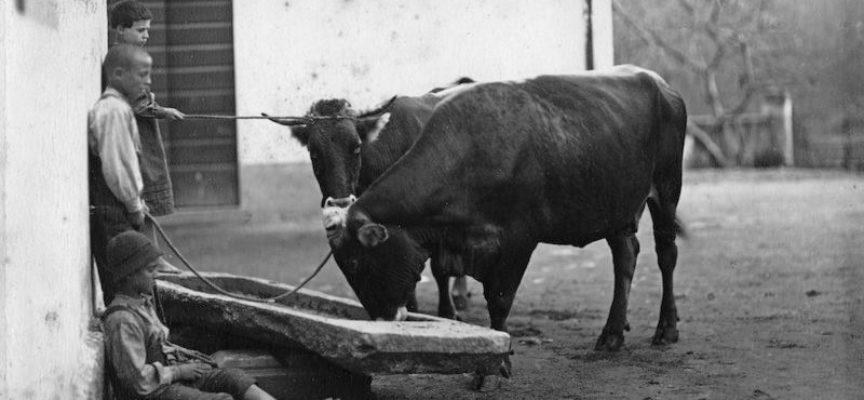 Con l'inizio della buona stagione i bovini, soprattutto le mucche da latte, hanno bisogno di tanta acqua