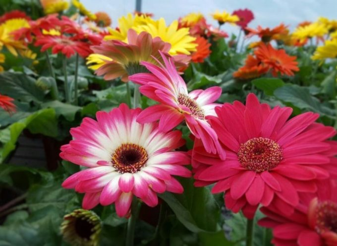 Coronavirus, la Regione interverrà per sostenere le aziende floricole