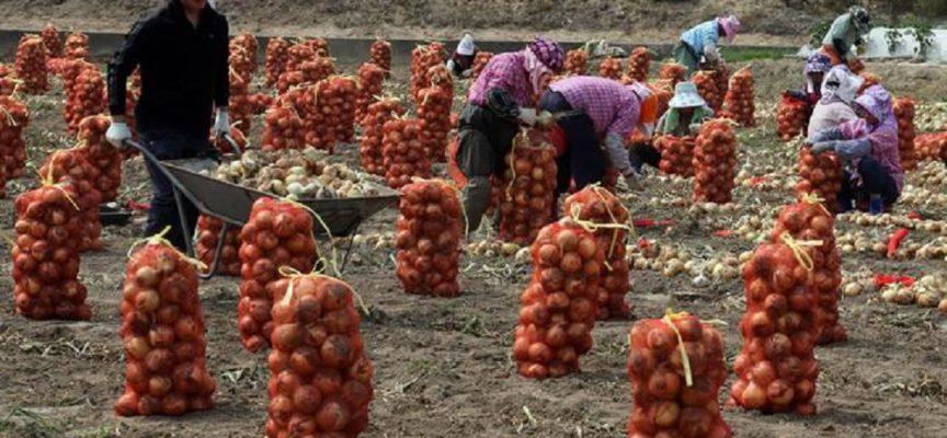 Raccolti marciscono nei campi: perché non vanno quelli col reddito di cittadinanza?