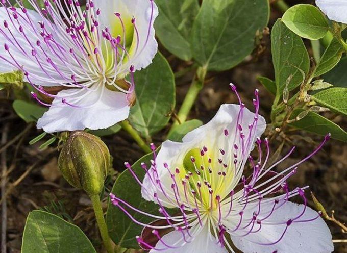 Conosciamo tutti i capperi sotto sale ma tutti li conoscono come pianta e ne conoscono il fiore.