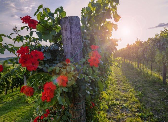 le rose sentinella. nei campi delle vigne
