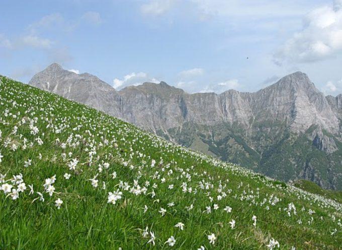 Stazzema è cultura: lo spettacolo delle giunchiglie sul Monte Croce