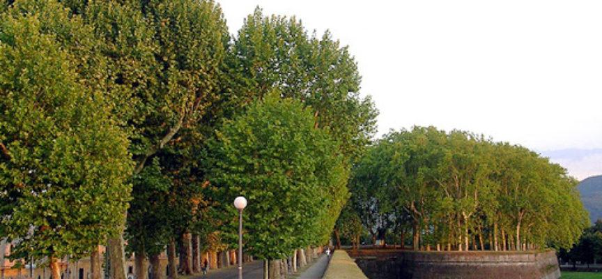 Cinque alberi malati saranno abbattuti sulle Mura