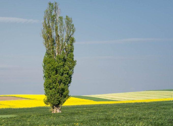 Le antiche tradizioni: il pioppo del 1° Maggio.