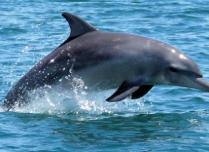 Santuario dei Cetacei, Pietrasanta rinnova impegno per tutela mammiferi marini
