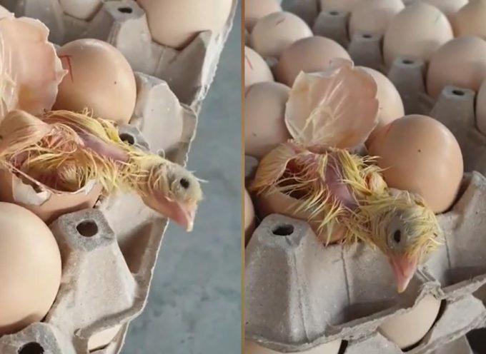 Sorpresa in un supermercato: da una confezione di uova… esce un pulcino!