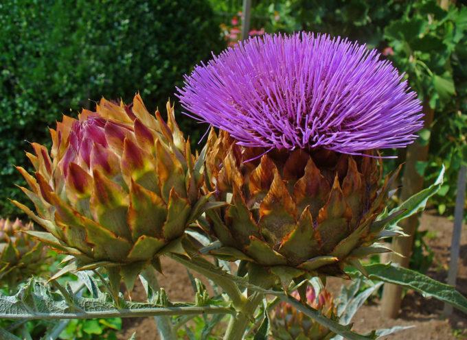 il carciofo non è solo una verdura ma è un fiore,