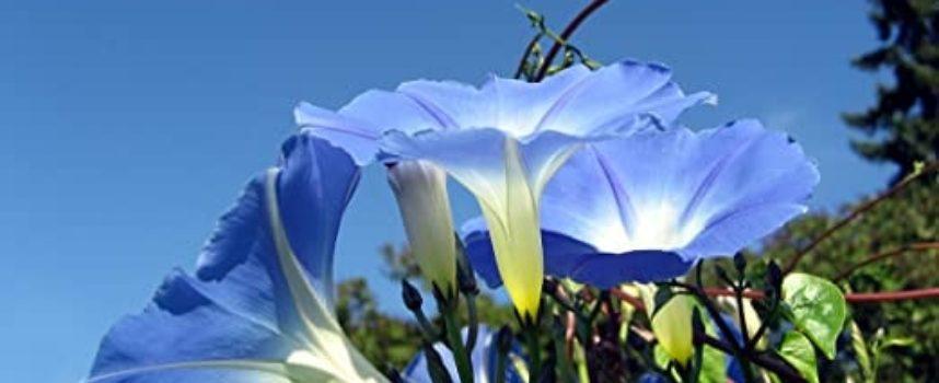 I fiori dell'estate: le campanelle.