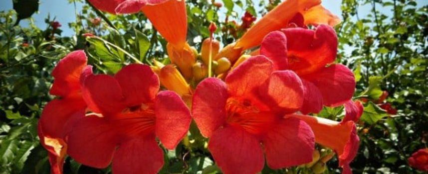 Le piante che arrivano da lontano: la Bignonia.