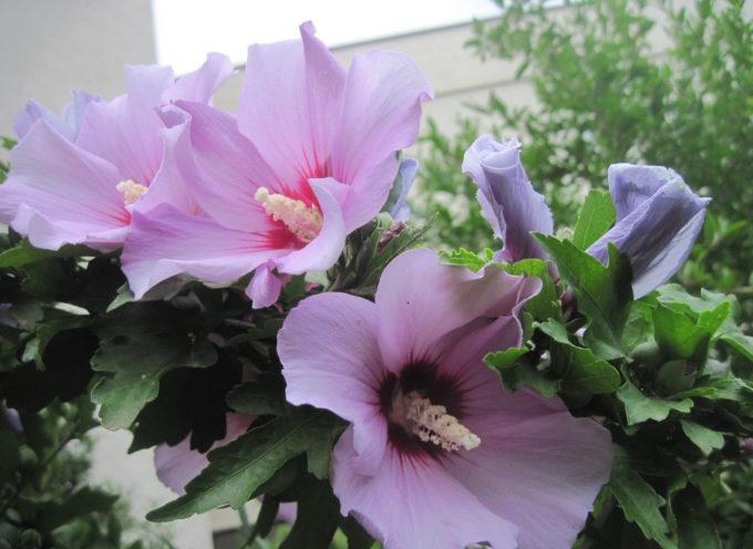 Le piante che vengono da lontano: l' Hibiscus Syriacis.